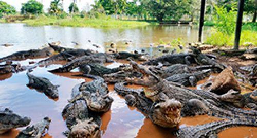 Cienaga de Zapata (Criadero de cocodrilo)